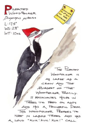 #WorldWatercolorGroup - Watercolor Sketch by Maria Coryell-Martin of Pileated Woodpecker - #doodlewash