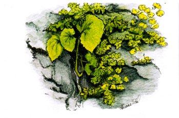 #WorldWatercolorGroup - Watercolor of Microgreens from the Ke'anae Arboretum, Maui by Adriana Vidal - #doodlewash