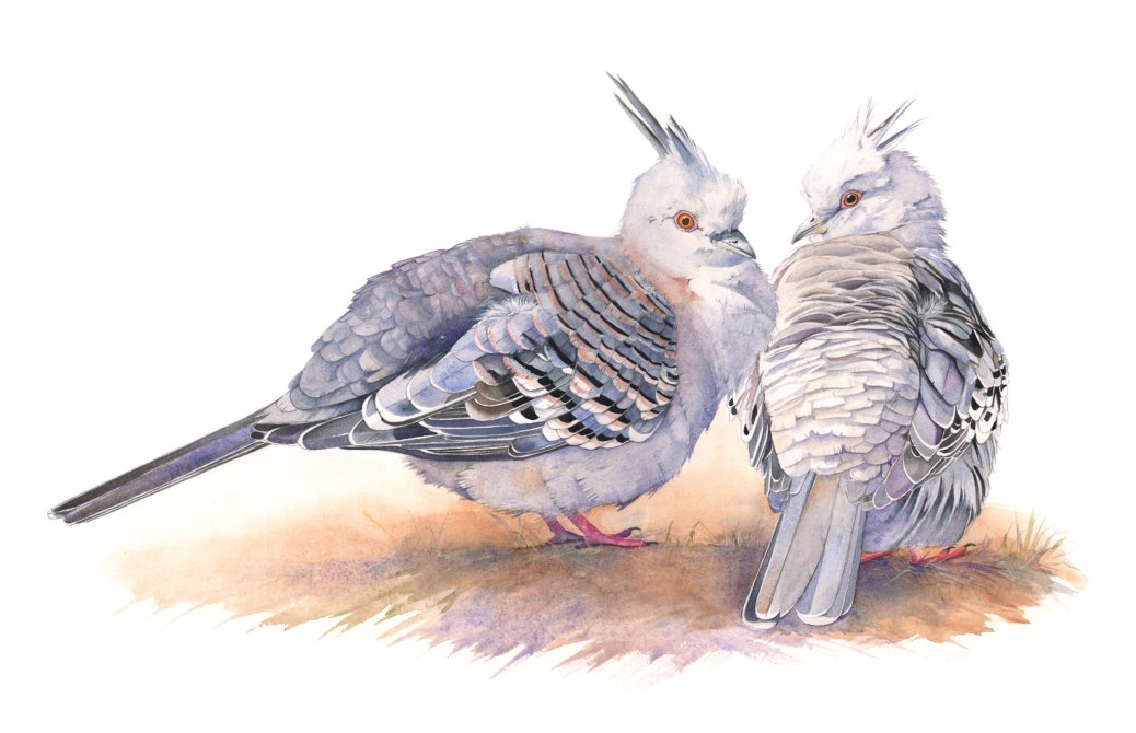 #WorldWatercolorGroup - Watercolor painting of crested pigeons by Louise De Masi - #doodlewash