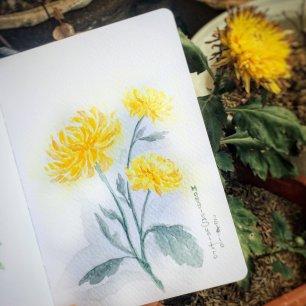 #WorldWatercolorGroup - Watercolor by Maggie Sumitro - Yellow Chrysanthemum - #doodlewash