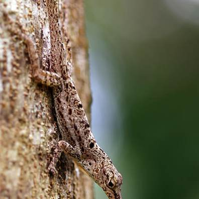 Tree Gecko
