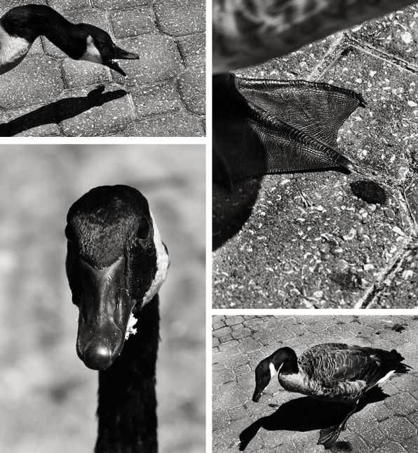 Moods Of A Goose