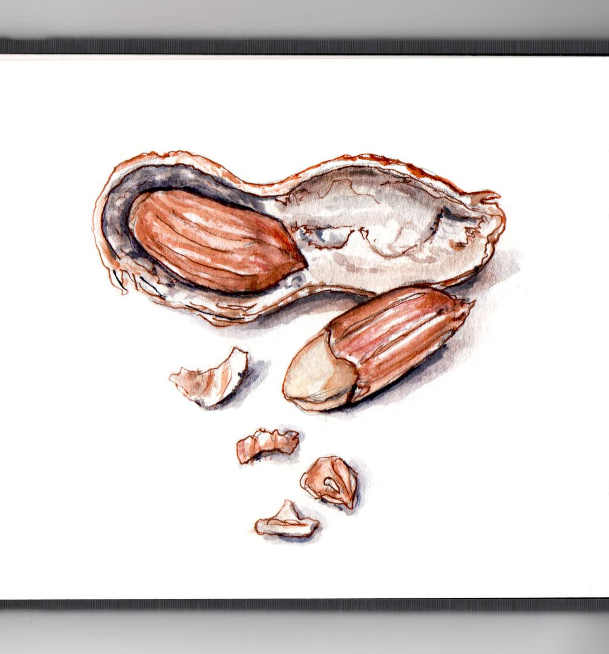 Day 26 - #WorldWatercolorGroup - Peanuts In The Shell Watercolor Illustration Food - #doodlewash