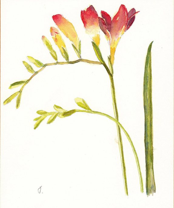 #WorldWatercolorGroup - Watercolor by Jan Purves - Orange Yellow Freesia - #doodlewash