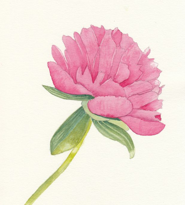 #WorldWatercolorGroup - Watercolor by Jan Purves - Peony - #doodlewash