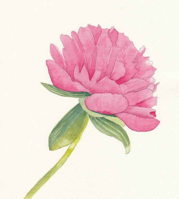 #WorldWatercolorGroup - Watercolor by Jan Purves - Peony - #doodlewash