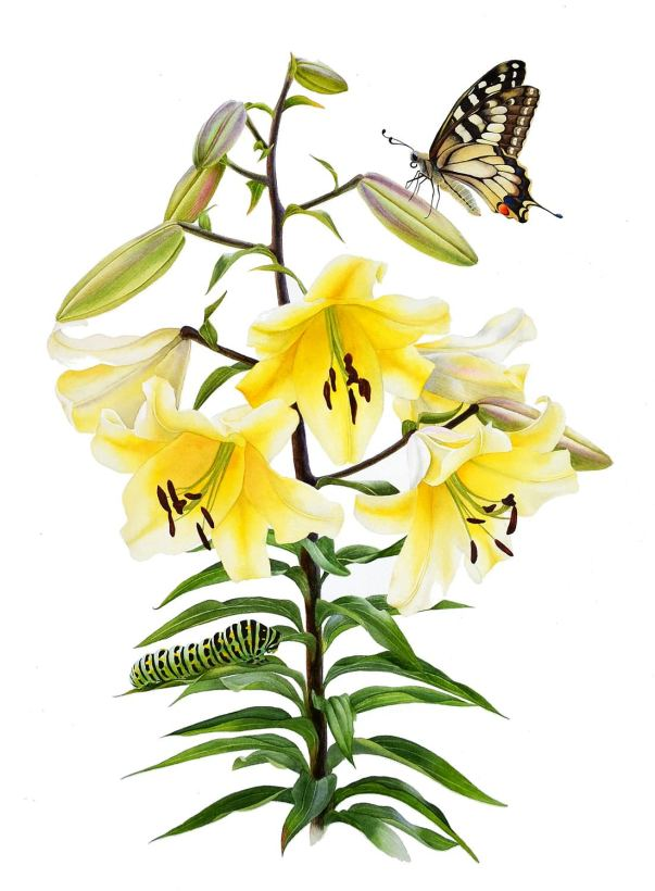 #WorldWatercolorGroup - Watercolor by Krzysztof Kowalski - The Big Brother Lily and Swallowtail - #doodlewash