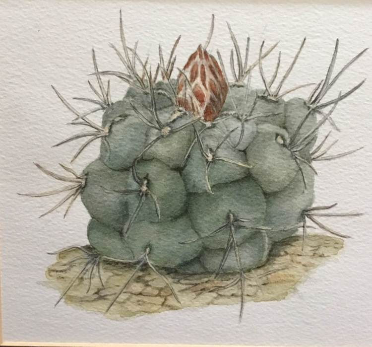 Thelocactus – pencil and watercolour IMG_0015