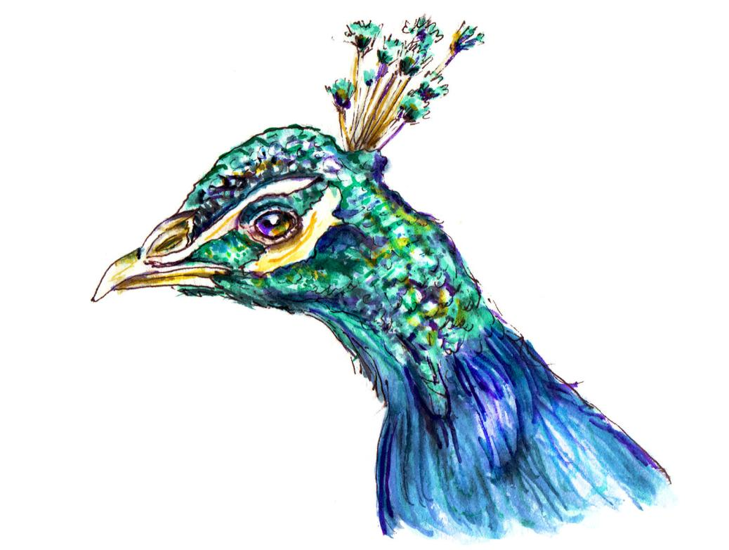 Day 31 - World Watercolor Month - A Proud Peacock - Doodlewash