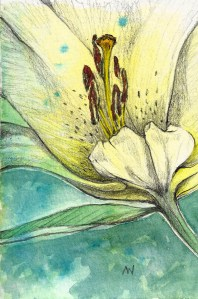 Stated in the garden, finished up in the studio. 4″ x 6″ Day Lily SCAN0234