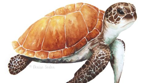 #WorldWatercolorGroup - Watercolor by Denise Soden - sea turtle - Doodlewash