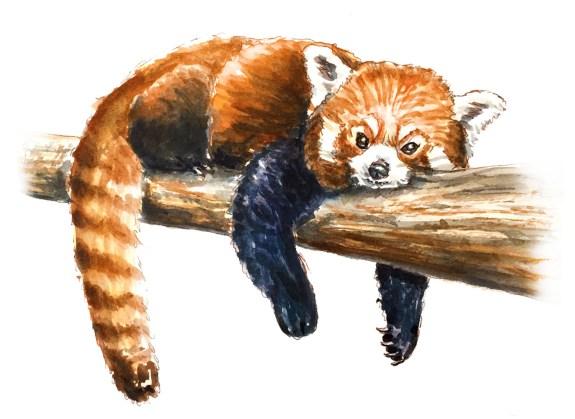#WorldWatercolorGroup - Day 26 - My Favorite Face - Red Panda - Doodlewash