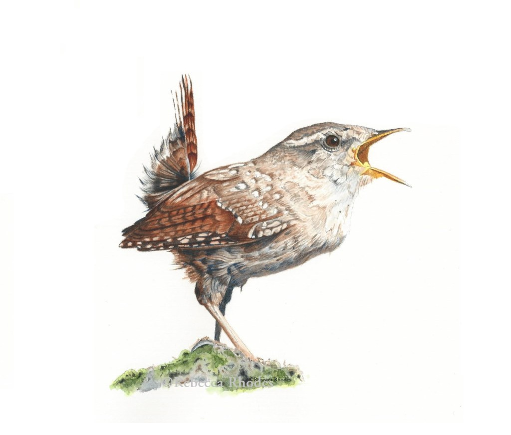 Wren in Watercolor on Arches Hot Press paper Learn to paint this wren at https://rebeccarhodes.teach