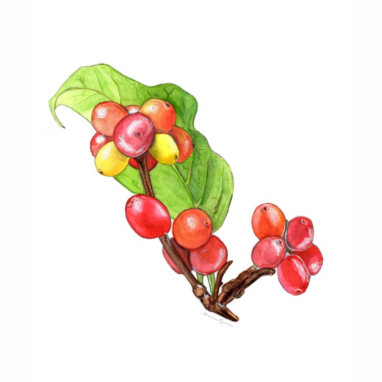 Coffee Plant, mixed media technique using watercolor, colored pencils and graphite. Coffee Plant by