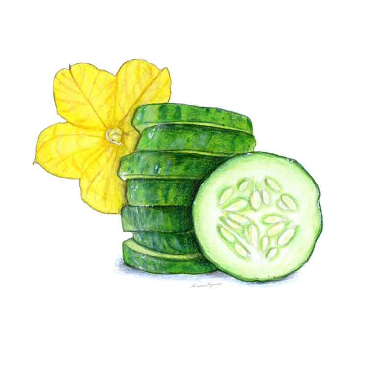 Sliced Cucumber and its Flower. Mixed media technique using watercolor, colored pencils and graphite