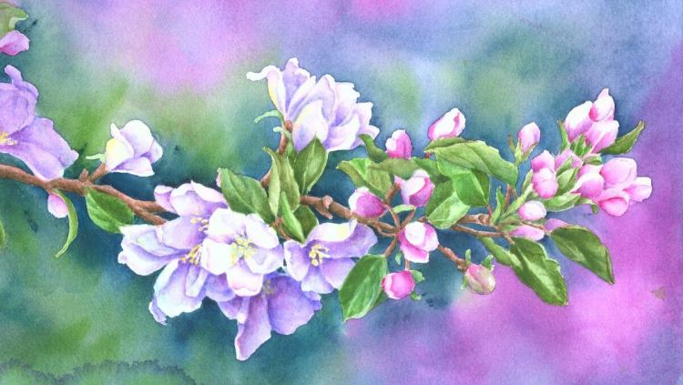 Apple Blossoms from my front yard. Three deer were nibbling at my crabapple trees when I went out to