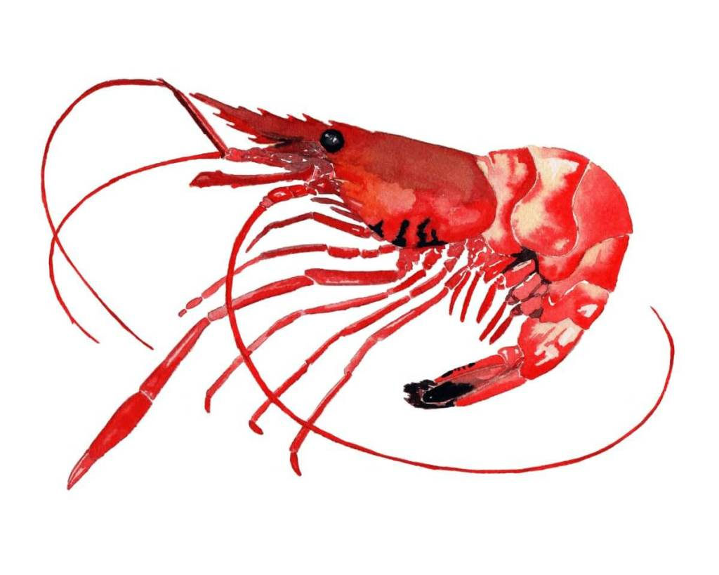 """Shrimp with a Sunburn"" cooked shrimp 8×10"