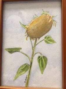 oregon sunflower 2