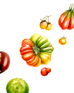 Heirloom tomatoes – Botanical Art Commission by Lee Angold. Customer requested a colourful fru