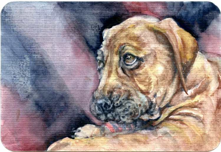 Boerboel puppy – often called the African Mastiff this breed can grow to 150-200 lbs. Schminck