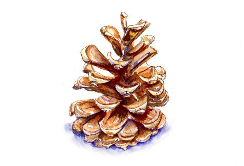 #WorldWatercolorGroup - Day 20 - A Pine Cone - Doodlewash