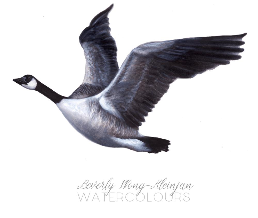 Canada goose (Branta canadensis) canadagoose_sm