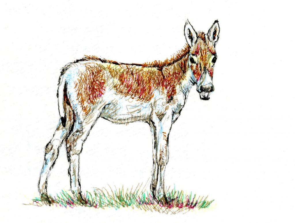 Postcards for the Lunch Bag – the Indian Wild Ass. Postcards for the Lunch Bag: Indian Wild As