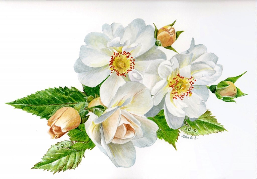 White Flower Botanical Illustration Watercolor Painting by Neha Subramaniam - Doodlewash