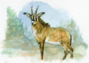 Postcards for the Lunch Bag – Did you know that the Roan Antelope makes three different sounds