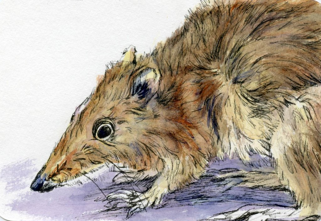 Postcards for the Lunch Bag – Did you know that although the marsupial Bandicoot looks much li