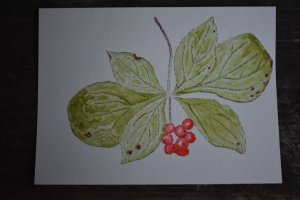 Sept 18, 2018 Bunchberries from last week's hiking DSC_6975