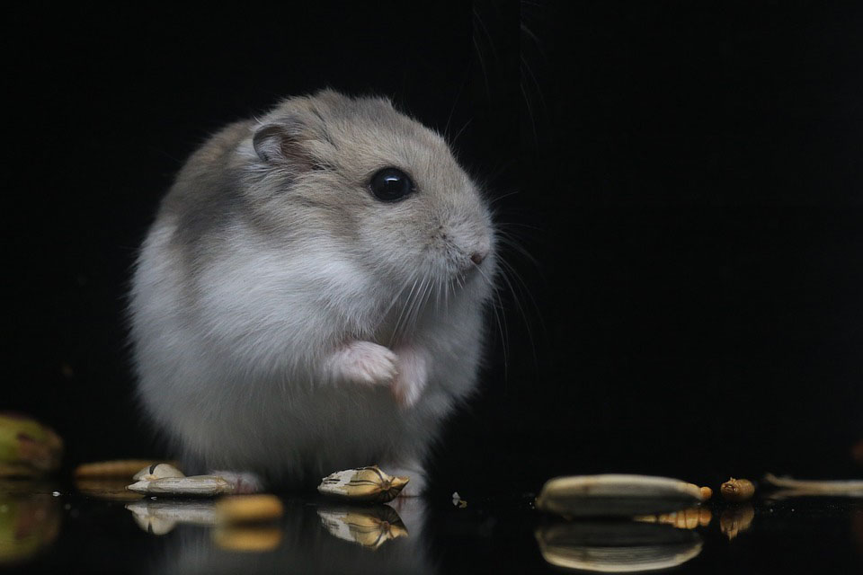 Hamster Reference Image