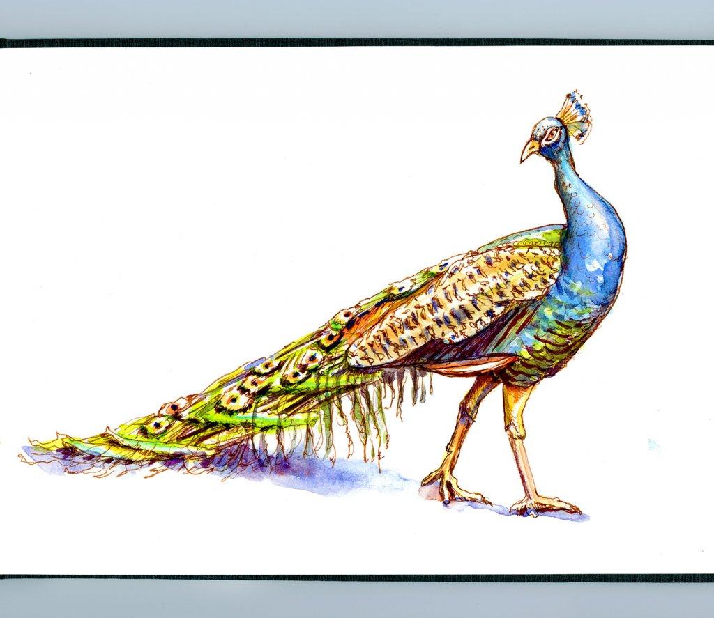 Day 3 - Peacock Watercolor Illustration Patterns Detail - Doodlewash