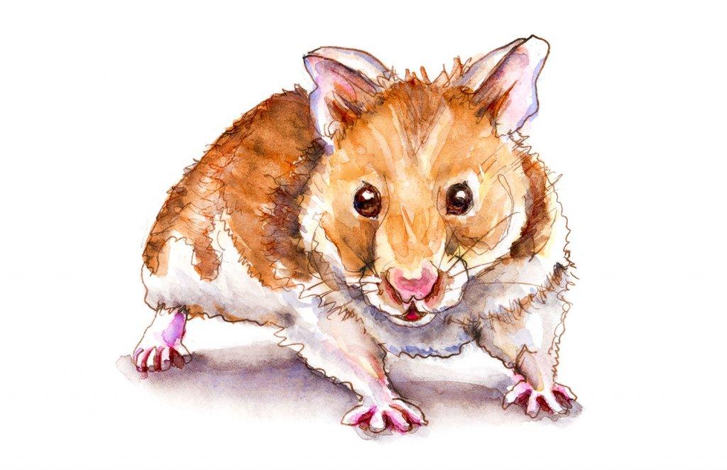 Day 27 - Syberian Golden Hamster Watercolor - Doodlewash