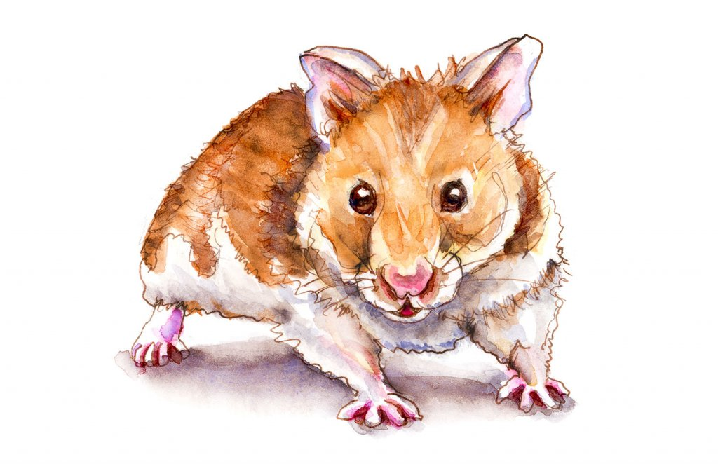 Day 27 - Syberian Golden Hamster Watercolor - Doodlewash
