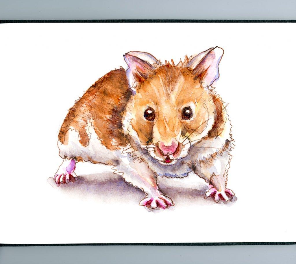 Day 27 - Syberian Golden Hamster Watercolor - Sketchbook Detail - Doodlewash