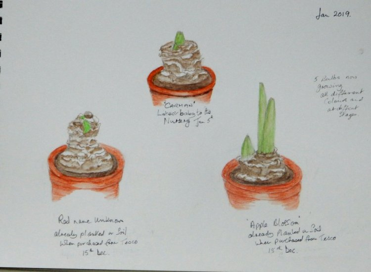 World Watercolour Group™ My Amaryllis Nursery —- i now have five bulbs growing in all d
