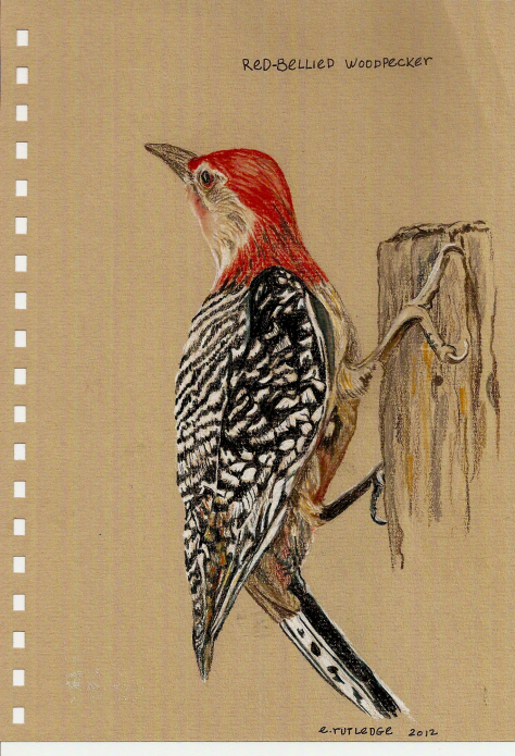 Red Bellied Woodpecker – for the Twenty Pages Project in Mobile, Alabama red-bellied-woodpecke