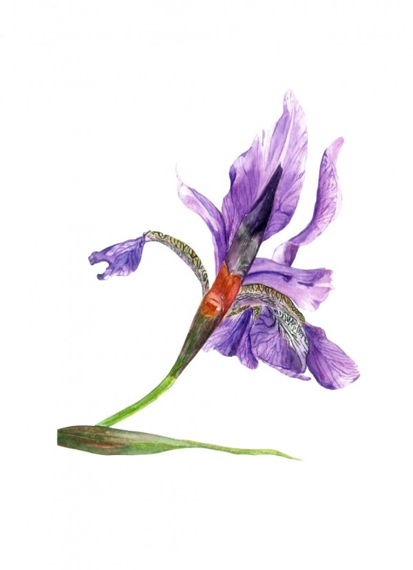 Watercolor Iris by Fatima Aslam - Doodlewash