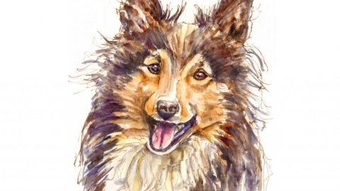 Sheltie Collie Watercolor Illustration - Doodlewash