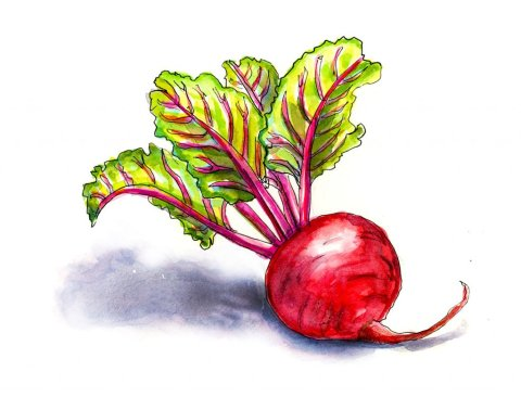 Beet Red Watercolor Illustration - Doodlewash