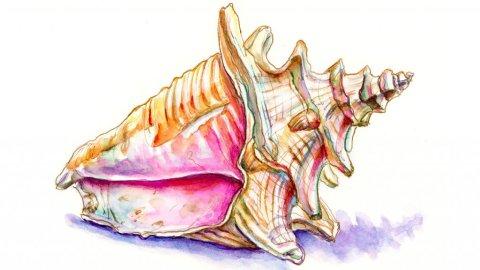 Conch Seashell Watercolor Illustration