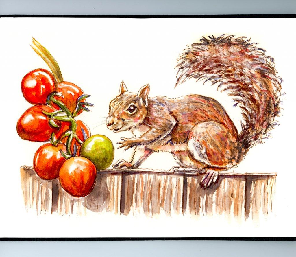 Squirrel Stealing Tomatoes Sketchbook Illustration