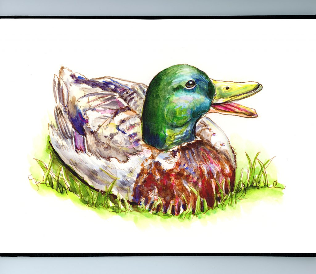 Day 8 - Mallard Duck Watercolor Illustration_IG