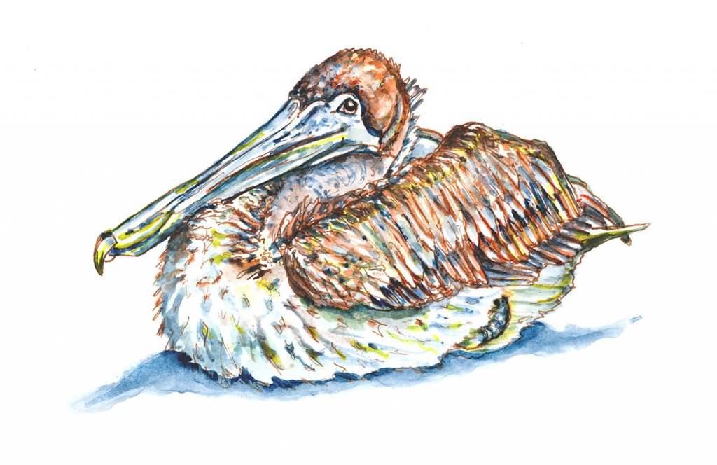 Pelican Resting Relaxing Watercolor Illustration