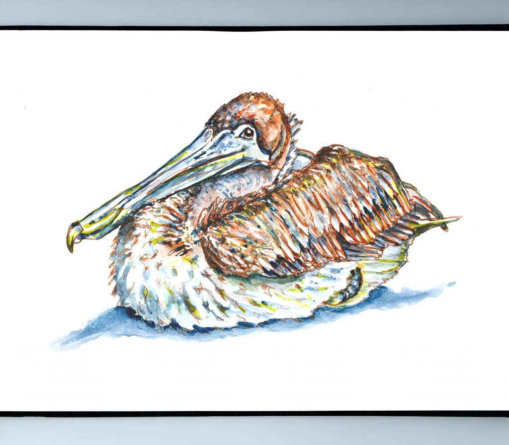 Pelican Resting Relaxing Watercolor Illustration Sketchbook Detail