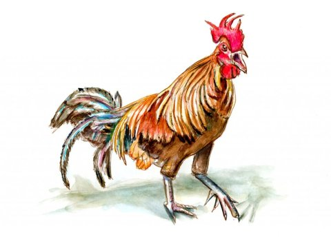 Rooster Le Coq Gaulois Aquarelle Watercolor Illustration