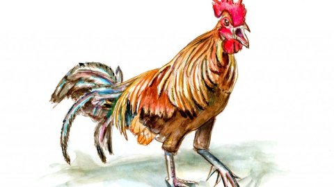 Rooster Le Coq Gaulois Aquarelle Watercolor Illustration