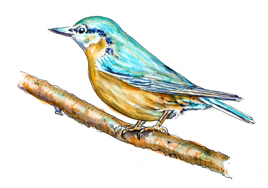 Blue Bird On Branch Watercolor Illustration