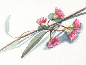 Red Ironbark flowering. Picked up a twig on the road. #WorldWatercolorMonth! day25